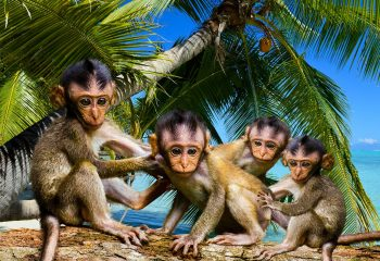 Four little monkeys...